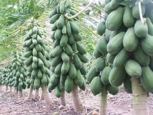 Seedscare Dwarf Variety Huge Production Hybrid Seed Papaya Seeds (Pack of 50)