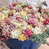 Anitra Perkins - Sukkulenten Samen echte saftig Samen Mix Succulent Mischung winterhart mehrjährig Blumensamen, geeignet auch für alte Schuhen oder Dachziegeln (50)