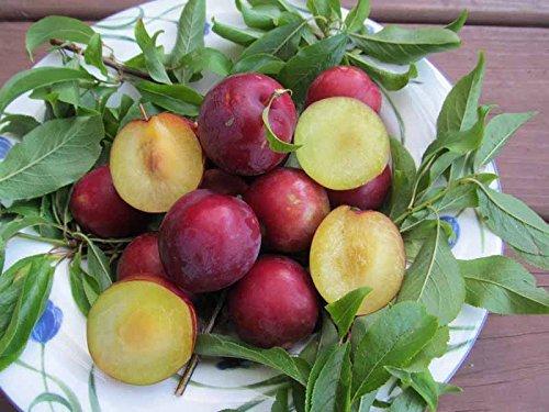 Scarlet Schönheit Pflaumenbaum 15 Samen UPC 907620997746 Selbst Pollinating