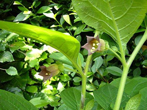 Asklepios-seeds® - 100 Samen Tollkirsche Atropa belladonna Hexenkraut