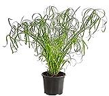 Dehner Zypergras, grüne Halme mit Blattkrone, ca. 70-80 cm, Ø Topf 19 cm, Zimmerpflanze
