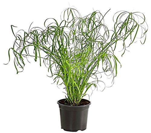 Dehner Zypergras, grüne Halme mit Blattkrone, ca. 90-100 cm, Zimmerpflanze