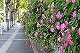 Portal Cool Gelb (??): Multi-Color Rosa multi 100 Samen Kletterrosen Changmi Garten Blumensamen