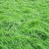 CUSHY Lila: Rasensamen 200pcs Rasen s Samen Frische Grün Weich Runner Natur Samen