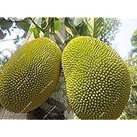 Vistaric Tailandia HA importada Fruta 5pcs del Durian del cojín Dorado de Semillas de la Fruta del Durian