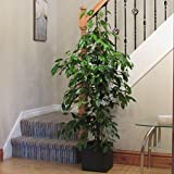 Best Home-Cube Indoor Plants - Indoor House Plant Large Ficus (Weeping Fig) Review