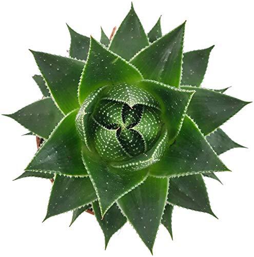 Fangblatt - Aloe'Cosmo' - atemberaubende Sukkulente - pflegeleichte Zimmerpflanze - die Aloe wächst kugelartig und ist eine Schönheit auf dem sonnigen Fensterbrett