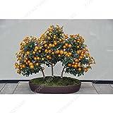 Las semillas 200pcs Bonsai crisantemo multicolor de las semillas de flor del crisantemo en maceta de Bonsai de bricolaje para las plantas de interior plantas del jardín de las semillas del crisantemo