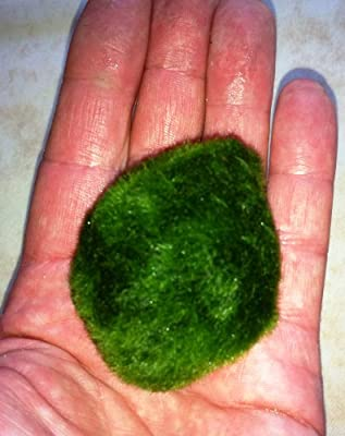 Marimo Moss Ball Large Aquarium Plant Chladophora Sp 3-5 cm