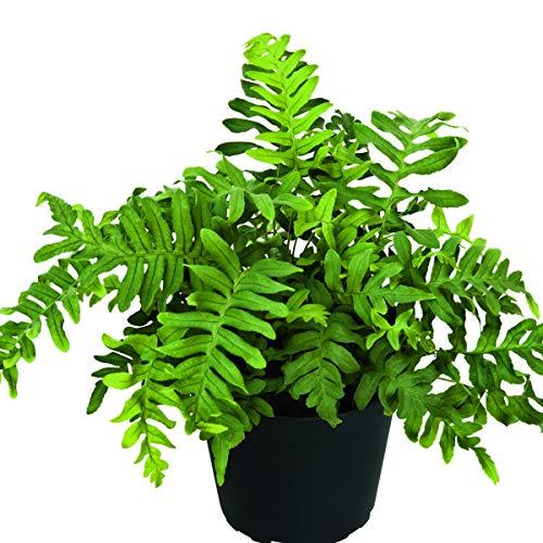 lichtnelke - Tüpfelfarn (Polypodium vulgare)