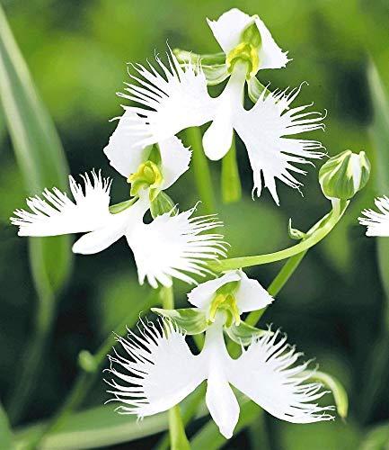 inkeme giardino - semi di white birdflower giapponesihabenaria radiata semi di fiori rari di orchidea semi ornamentali perenne hardy per giardino balcone/patio