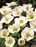 Pack 20 Bulbs/Tubers Anemone De Caen 'The Bride' Top Quality W.C.Prins Bulbs