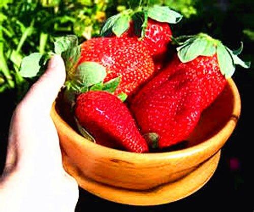 800 pcs graines de fraises de lait super grosses graines de fraises, graines de fleurs, fournitures de jardin, bonsaïs de parfum, GHD, maison et jardin non-OGM
