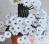 Fash Lady - Semi di Cactus rari Giapponesi, 10 Pezzi, Fiori rari, cementi, Bonsai