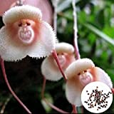 hongfei Affe Gesicht Blumensamen, Einfach Wachsen Bunte Miniatur Baum Topfpflanzen Samen Garten Bonsaipot Hause Bonsai Büro Pflanzen Decor 100 samen für Sommer