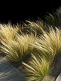 Piatti messicani in erba Pony Tails seeds - Stipa tenuissima