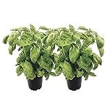2 frische Basilikum-Topfpflanzen: große Gewürzkräuter mit starkem Wuchs - marktfrische Basilikumbüsche für Pasta, Pizza - Basilikum-Pflanzen-Set