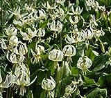 PLAT FIRM-SEEDS Pflanzenwelt Seeds - Kalifornischer Hundszahn-Samen