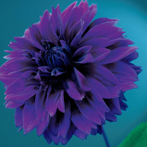 100pcs Dîner graines Plate arc Dahlia, chinois pivoine bonsaï graines de fleurs, 22 couleurs à choisir, pour la maison de jardin plantting