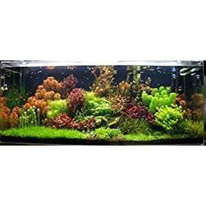 Biotope Aquatics Ltd – 50 Live Aquarium Plants Tropical Aquatic Plants for your fish tank – rooted and stems