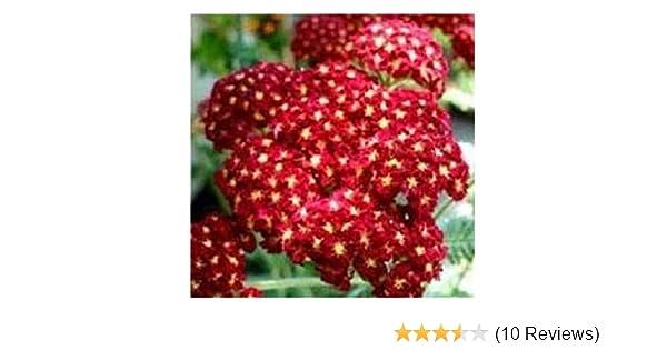 ACHILLEA MILLEFOLIUM Perennial 4000 Finest Seeds Pastel Mixed PREMIER SEEDS DIRECT