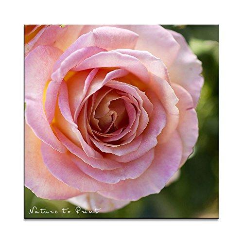 Edelrose Elle in Aprikot-Rosa als Kissen mit Füllung im Format 70 cm x 70 cm
