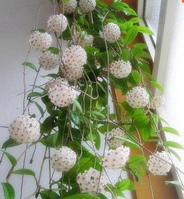 Vente chaude 2016 20 Couleurs graines rares de hoya Graines de fleurs 50pc/paquet Bonsai Graines Livraison gratuite Maison et jardin 14
