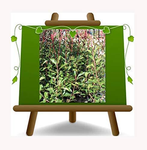 Photinia Red Robin - vaso 26 - Pianta da siepe - su vaso da 26 - altezza 150 cm