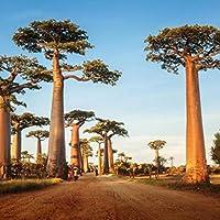 WuWxiuzhzhuo 10 Semillas de árbol de Baobab Adansonia Digitata, Plantas Exóticas al Aire Libre de Alta Germinación