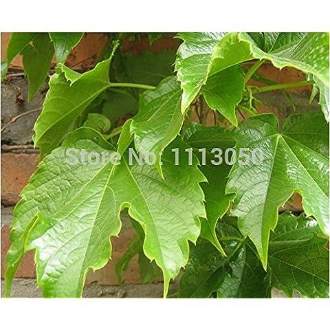 .hot La venta de 100 piezas semillas de hiedra de Boston semillas de enredadera japonés bonsai verde jardín de DIY.
