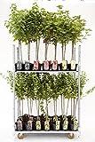 Rote, weiße oder Schwarze Johannisbeere Beerenobst Gartenpflanze Ribes rumbrum auf Stamm veredelt (Jonkheer van Tets - Rot - 90cm)