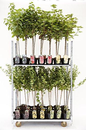 Rote, weiße oder Schwarze Johannisbeere Beerenobst Gartenpflanze Ribes rumbrum auf Stamm veredelt (Blanka - Weiß - 90cm)