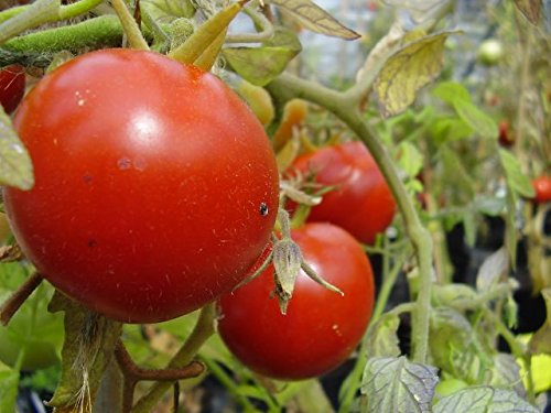 Premier Seeds Direct Tomaten Heinz 1350 beinhaltet 100 Samen