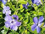 100 Pflanzen Vinca Minor (blau blühendes Immergrün) | 100% Anwachsgarantie | aus deutscher Markenbaumschule | 5-7 Triebe im 0,5L Topf | mit Pflanzanleitung
