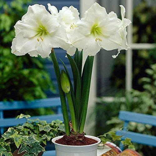 amaryllis-bulb-mont-blanc-white-large-size-26-up