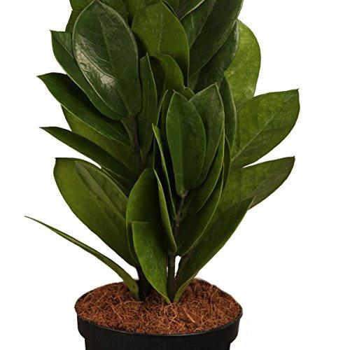 zamioculcas-9cm-topf-20-30-cm-1-pflanze