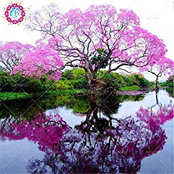 100pcs/bag Paulownia Samen Royal Empress Baumsamen (Paulownia tomentosa), ourdoor Pflanzen Blumensamen Pflanze Hausgarten vergossen 3