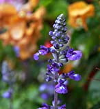 Futaba® Blu Salvia farinacea Labiatae perenni Erbe 100 semi