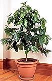 Arbusto semi del caffè arbusto Saudita (Coffea arabica) perenne sala impianti