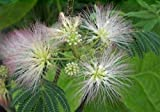 Albizia julibrissin (60-80 cm) Seidenbaum-Seidenakazie (Schlafbaum)