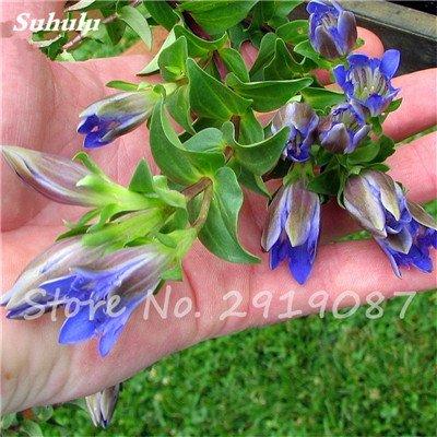 De haute qualité bonsaïs 100 Pcs Largeleaf gentiane Graines vivace Fleur bleue Graine Blooming Plantes Diy jardin Ménage 11