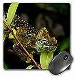 Danita Delimont - Lizards - High-casque Chameleon lizard, Kenya, Uganda - NA02 DNO0954 - David Northcott - MousePad (mp_140237_1)