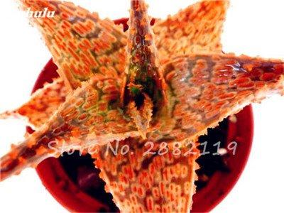 50 Pcs Aloe Vera Graines Beauté comestibles cosmétiques colorés Bonsai Cactus Succulentes Plantes Fleurs Fruits Légumes Graines Pour Balcon 11