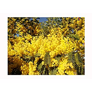 SILVER WATTLE or MIMOSA ACACIA dealbata young PLANT - masses of yellow flowers open on the older plants in early Spring