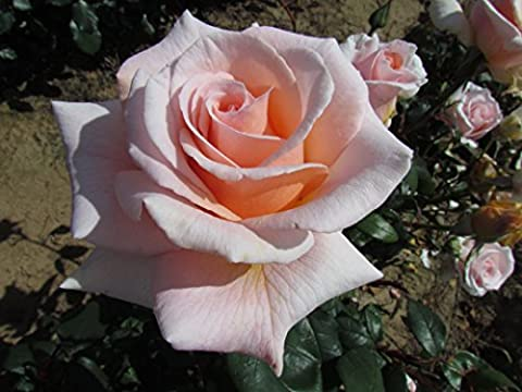 FRAGRANT BEAUTY - 4lt Potted Hybrid Tea Garden Rose Bush - Amazing Strong Sweet Rose Scent, Shapely Apricot & Pale Pink Blooms, Repeat Flowering- Exclusive!