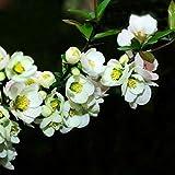 Portal Cool 30Pcs Weiße Begonie Blumensamen Malus Spectabilis Topf Bonsai-Hausgarten