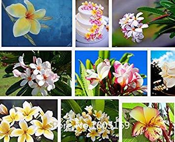 graines 2016flower expédition semences Décoration de table Plumeria Foam Frangipani Fleur 100 Mariage / psc Party Decoration Romance Mix