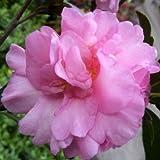"Camellia sasanqua ""FLM 2"" (Camelia di Natale) [Vaso Ø26-30cm]"