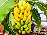100pcs / bag Topf Banane Samen Bio-Fruchtsamen gesunde und nahrhafte Lebensmittel Früchte Zwergbanane Pflanze für Hausgarten Bonsai