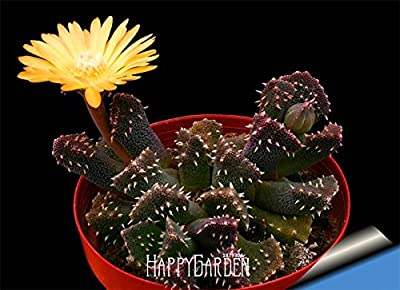 Nueva llegada! 10 PC / semillas de cactus de bolas de carga raras semillas de plantas suculentas Bonsai Flor Celeste plantadores de marihuana Flores, # AXBAND